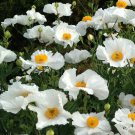 Fried Egg Flower Matilija Poppies Romneya coulteri - 100 Seeds