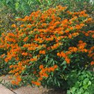 Native Orange Butterfly Milkweed Pleurisy Root Asclepias tuberosa - 30 Seeds