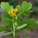 Organic Wild Sickle Senna Cassia Senna tora - 20 Seeds - 20 Seeds