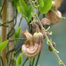 Rare Native California Pipevine Aristolochia californica - 5 Seeds