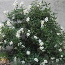White California Tree Anemone Carpenteria californica - 30 Seeds