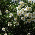 Rare White California Bush Anemone Carpenteria californica - 20 Seeds
