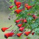 Scarce Chilean Nasturtium Soldadito Tropaeolum tricolor - 4 Seeds