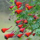 Rare Bolivian Nasturtium Soldadito Tropaeolum tricolor - 4 Seeds