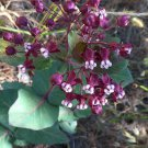 Scarce Heart-Leaf Purple Milkweed Asclepias cordifolia - 10 Seeds