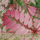 Chinese Mahogany Red Toon Toona sinensis - 10 Seeds