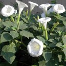 Night Blooming White Bush Moonflower Datura - 10 Seeds