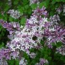 Shaggy Villous Late Lilac Syringa villosa - 40 Seeds