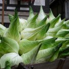 Rare Filderkraut Giant German Heirloom Cabbage Brassica oleracea capitata - 40 Seeds