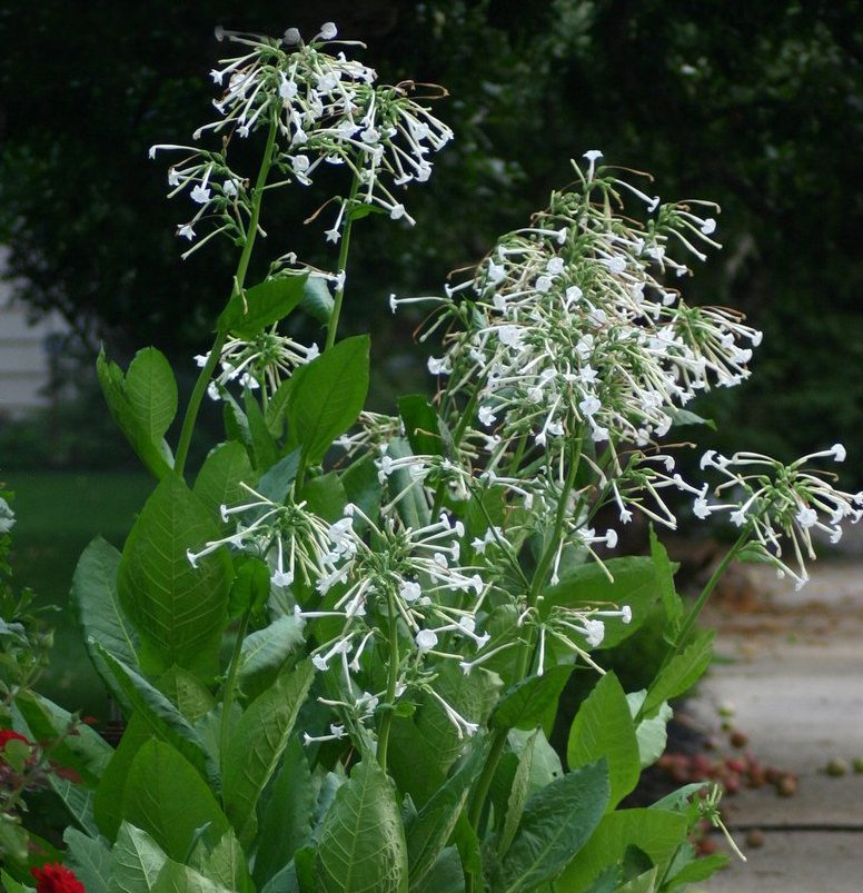 Fragrant White Trumpets 'Only the Lonely' Nicotiana sylvestris - 200 Seeds