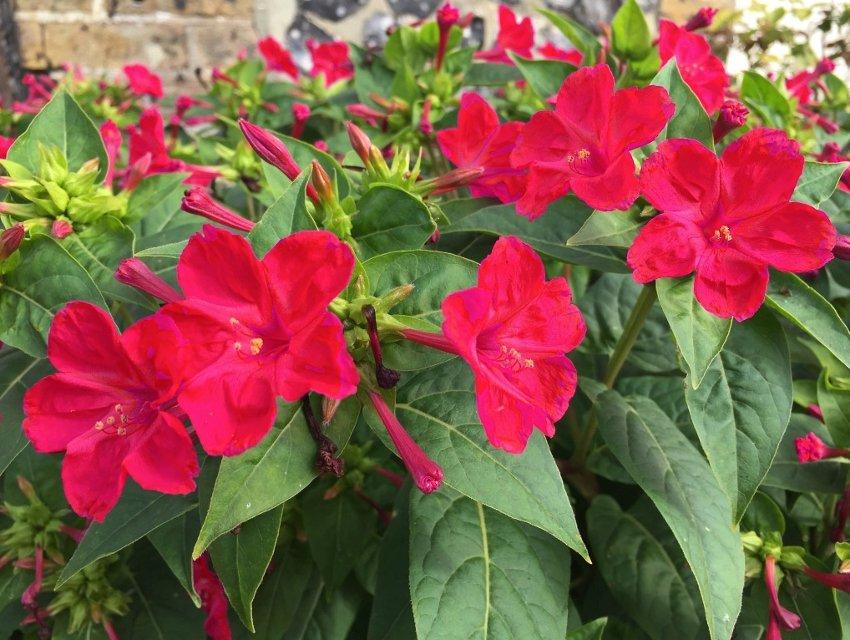 Crimson Red Four O'Clocks Mirabilis jalapa - 30 Seeds