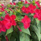Crimson Red Four O'Clocks Mirabilis jalapa - 30 Seeds