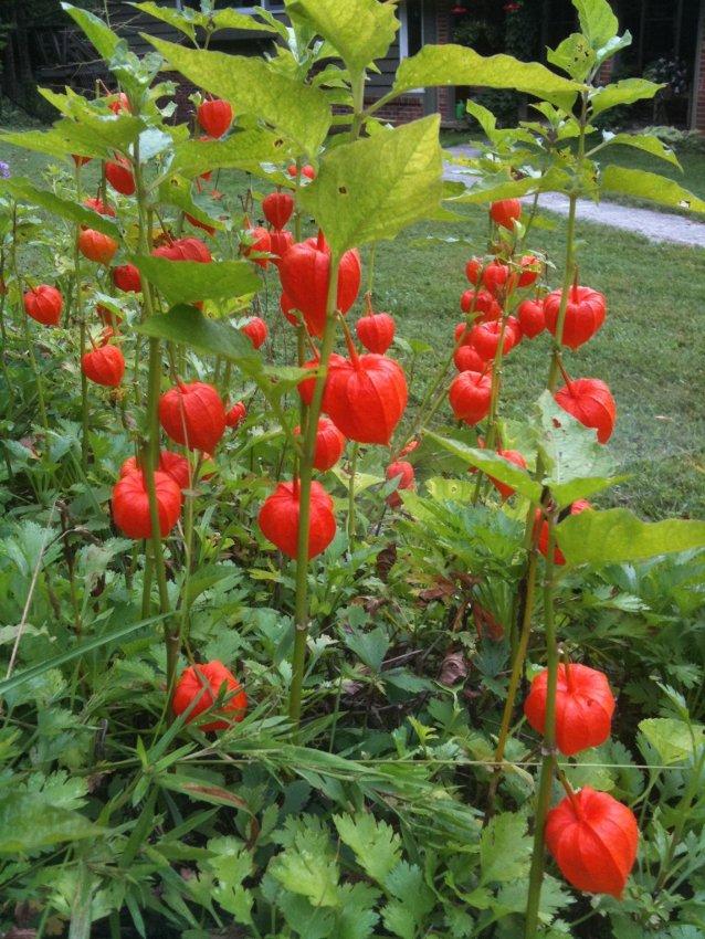 Ornamental Chinese Lantern Physalis alkekengi - 75 Seeds