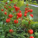 Ornamental Chinese Lantern Physalis alkekengi - 75 Seeds