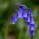 Rare True Wild English Bluebell Hyacinthoides Scilla Non-Scripta - 25 Seeds