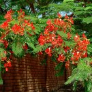 Royal Poinciana Flamboyant Tree Delonix regia - 10 Seeds
