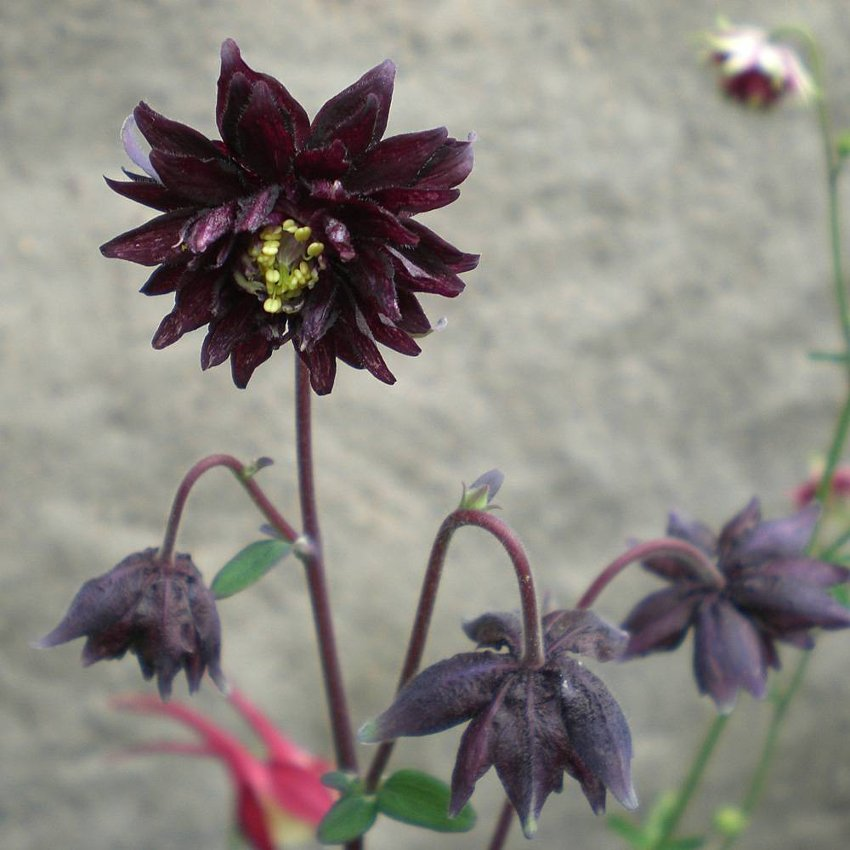 'Black Barlow' Columbine Aquilegia vulgaris - 25 seeds