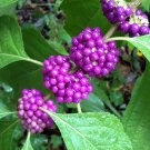 American Beautyberry Fruit Callicarpa americana - 20 Seeds