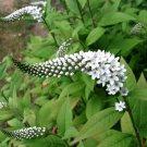 White Gooseneck Loosestrife Lysimachia clethroides - 25 Seeds