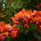 Rare Scarlet Coral Vine Flower Kennedia coccinea - 5 Seeds