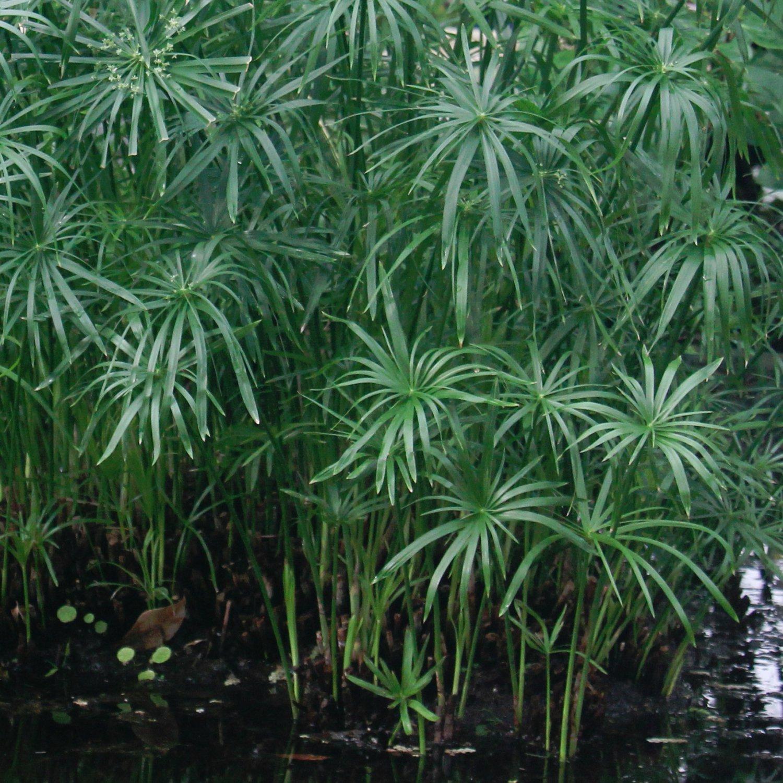 Tall Water Palm Tropical Grass Cyperus alternifolius - 100 Seeds