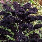 Goth Garden Almost Black Purple Kale Redbor Brassica oleracea var. acephala - 20 Seeds