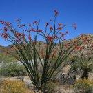 Rare Unusual Candlewood Ocotillo Fouquieria splendens - 20 Seeds