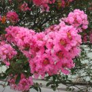 Pink Crape Myrtle Lagerstroemia indica var. rosea - 25 Seeds