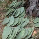 Hardy Mexican Nopal Cactus Prickly Pear Opuntia ficus-indica - 3 Live Pads