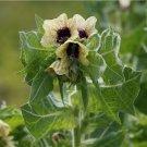 Black Henbane Hyoscyamus niger - 30 Seeds