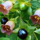 True Wild Belladonna Atropa Belladonna - 15 Seeds