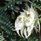 Rare White Kaka Beak Lobster Claw Clianthus puniceus 'Albus' - 5 Seeds