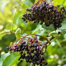 Organic American Black Elderberry Sambucus canadensis - 40 Seeds