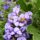 Ornamental Purple Texas Mountain Laurel Dermatophyllum secundiflorum - 12 Seeds
