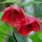Flowering Maple Mix Abutilon hybridum - 30 Seeds