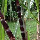 Organic Black Sugarcane Saccharum officinarum - 2 Plants