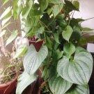 Rare Air Potato Heart Leaf Vine Dioscorea bulbifera - 1 Bulb