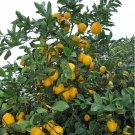Cuttings! Organic Meyer Lemon Citrus x Meyeri Large Fruited - 5 Unrooted  Cuttings