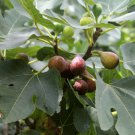Fruiting Fig Assortment Ficus carica - 6 Unrooted Cuttings