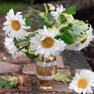 White Shasta Daisy Chrysanthemum Maximum -250 Seeds