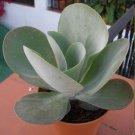 Flapjack Succulent Kalanchoe thyrsiflora - 20 Seeds