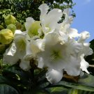 Exotic White Herald's Trumpet Vine Beaumontia grandiflora - 10 Seeds