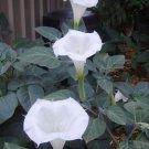 Night Blooming White Moonflower Bush Datura sp - 10 Seeds