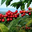 Fresh Raw Seeds Kona Coffee Plant Coffea Arabica - 25 Fresh Seeds