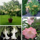 Special! Brugmansia Angel Trumpet Assorted - 3 Cuttings