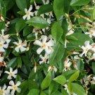 Cuttings! White Star Jasmine Trachelospermum Jasminoides - Box of Cuttings