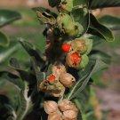 Ayurvedic Herb Ashwagandha Withania somnifera - 50 Seeds