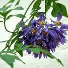Ornamental Purple Star Potato Vine Solanum Seaforthianum - 10 Seeds