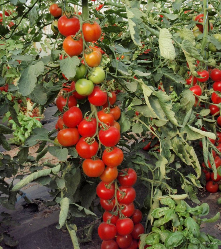 "English Heirloom Tomato ""Moneymaker"" Solanum lycopersicum - 50 Seeds"