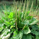 Organic Herb Broadleaf Plantain Plantago Major - 500 Seeds